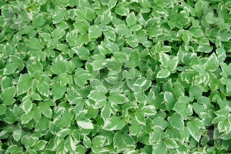 Background of Hostas stock photo, A background image of green hostas also known as Funkia by Richard Nelson