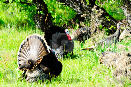 Wild Turkeys stock photo, Two male wild turkeys displaying their tails for female turkeys by Don Fink