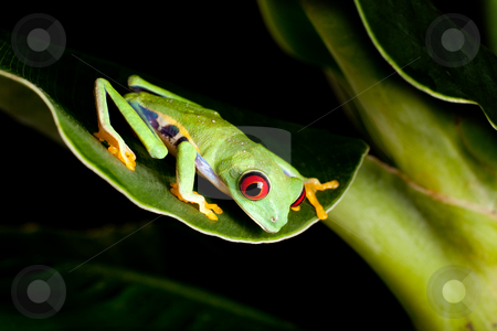 Red eyed frog on banana tree stock photo, Red eyed tree frog on banana leaf by Anneke