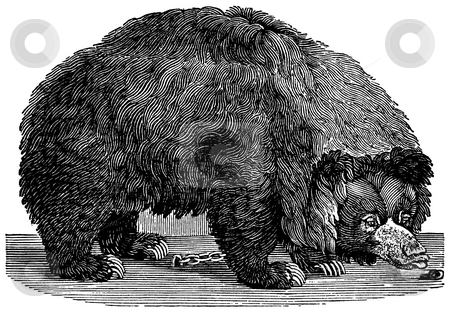 Brown Bear stock photo, Black and white engraving of chained Brown Bear isolated on white background, Artist was Thomas Bewick (1753-1828), source book,