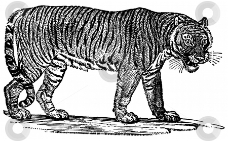 Tiger stock photo, Black and white engraving of Tiger isolated on white background, Artist was Thomas Bewick (1753-1828), source book,