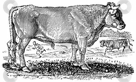 Bull  stock photo, Black and white engraving of bull isolated on white background, Artist was Thomas Bewick (1753-1828), source book,