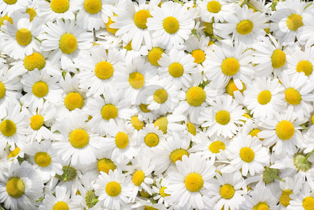 Camomile stock photo, White and fresh flower camomile as background by Jolanta Dabrowska