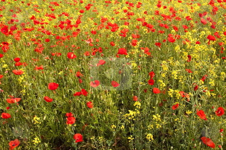 Field of poppies stock photo, A field of poppies with yellow flowered oil seed and grass by Mike Smith