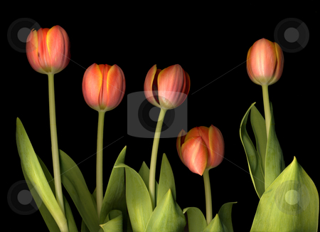 Tulips stock photo, Tulips on a black background by Jacqui Martin