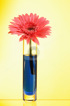 Gerbera stock photo, Pink gerbera in vase  on yellow background by Salauyou Yury
