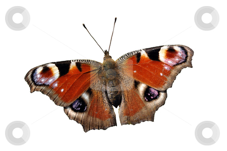 Isolated European Peacock (Inachis io) Butterfly stock photo, Isolated reddish butterfly European Peacock (Inachis io) on white background. by fotosutra