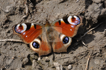 European Peacock (Inachis io) stock photo, European Peacock (Inachis io) on grey muddy ground. by Fotosutra.com