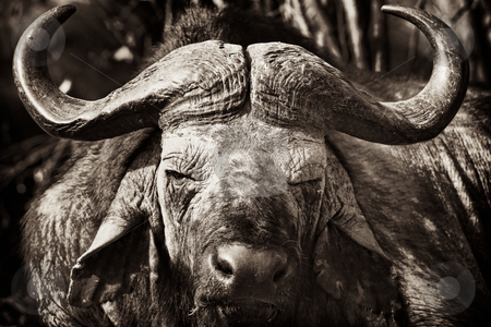 Buffalo stock photo, African Buffalo with dried mud on his face, Masai Mara, Republic of Kenya, East Africa by mdphot
