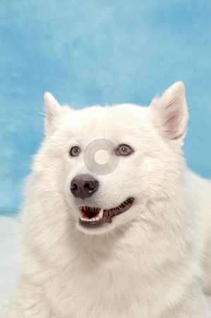 White dog on blue background stock photo, White dog on blue background. by Lars Christensen