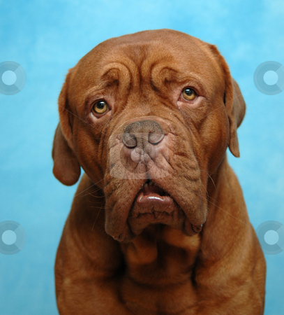Sad dog stock photo, Sad dog. Taken in studio on blue background. by Lars Christensen