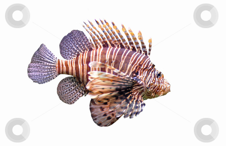 Red lionfish stock photo, Red lionfish - Pterois volitans in front of a white background. by Bonzami Emmanuelle