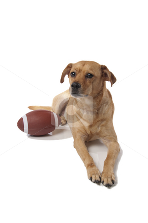 Yellow dog with an American football stock photo, A yellow mixed breed dog with an American football on a white background. by Britton Grasperge