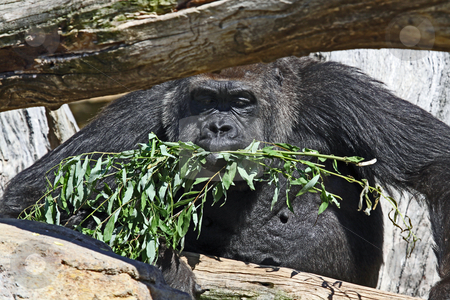 Gorilla eating food stock photo, Portrait of adut male gorilla in branches of tree with food in mouth. by Martin Crowdy