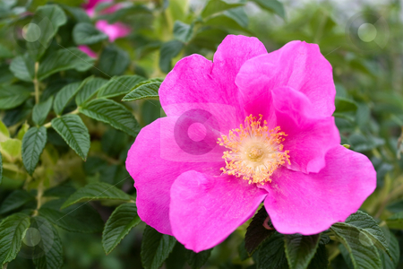 Rugosa Rose stock photo, Rugosa roses are native to New England in addition to China and Japan. by Todd Arena