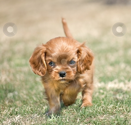 Angry Puppy stock photo, Funny puppy with aggressive posture and angry expression by Leslie Murray