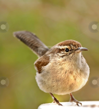 BEWICK stock photo, Cute Bewick's Wren with feathers fluffed out by Leslie Murray
