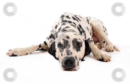 Dalmatian stock photo, Portrait of a purebred dalmatian laid down on a white background by Bonzami Emmanuelle