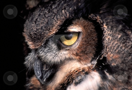 Gaze of the Great Horned Owl stock photo, Piercing gaze of the Great Horned Owl (Bubo virginianus). by Jason Ross