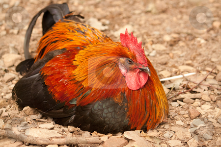 Rooster stock photo, Cock lying in the sand by Koen Adriaenssen