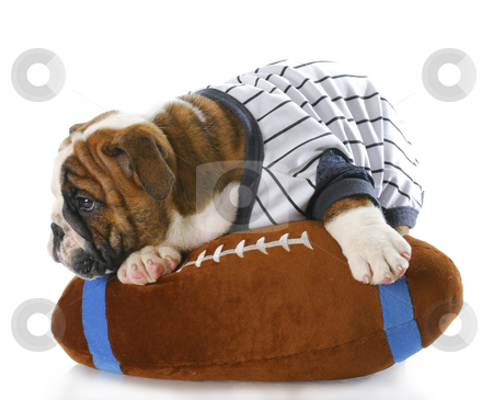 Sports hound stock photo, English bulldog puppy wearing sports jersey laying on stuffed football with reflection on white background by John McAllister
