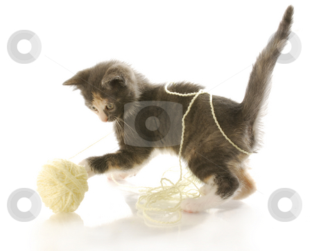 Kitten playing with yarn stock photo, Short haired kitten playing with ball of yellow yarn with reflection on white background by John McAllister