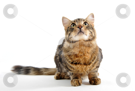 Looking  cat stock photo, Portrait of a purebred young norwegian cat on a white background by Bonzami Emmanuelle