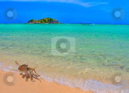 Baby Octopus taking a stroll stock photo, A small octopus coming out of the water at Koh Lipe, Thailand by Kjersti Jorgensen