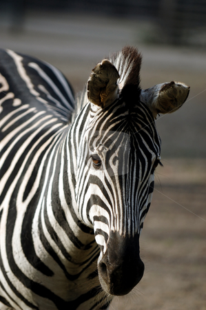Sad zebra stock photo, Very sad zebra standing in the sun by Lars Christensen