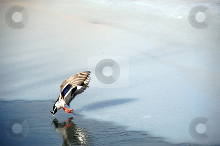 Landing duck stock photo, Duck is about to land by Lars Christensen