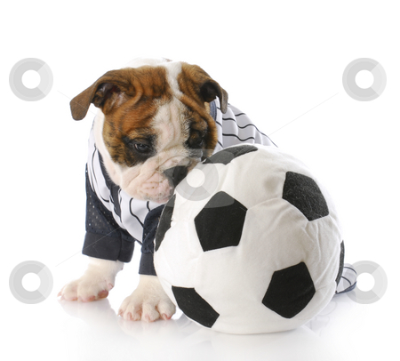 Puppy with soccer ball stock photo, Adorable english bulldog puppy sitting beside soccer ball with reflection on white background by John McAllister