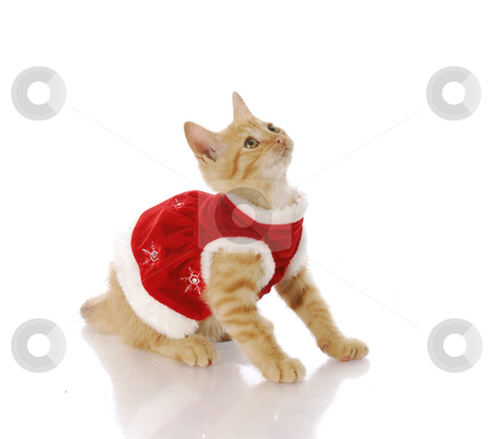 Christmas kitten stock photo, Cute kitten in red christmas dress with reflection on white background by John McAllister