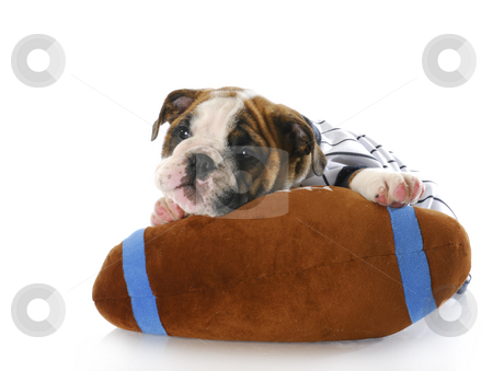 Sports hound stock photo, Adorable eight week old english bulldog puppy laying with stuffed football with reflection on white background by John McAllister