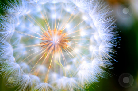 Close-up Large Dandelion stock photo, Up close view of a large white Dandelion puffball with the seeds visible through the umbrellas that carry them with the wind by Lynn Bendickson