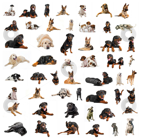 Group of purebred dogs stock photo, Composite picture with purebred  dogs in a white background by Bonzami Emmanuelle