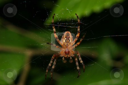 European garden spider (Araneus diadematus) stock photo, European garden spider (Araneus diadematus) - Male in the Net by Torsten Dietrich