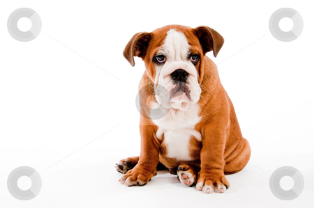 Puppy stock photo, English Bulldog puppy look on isolated background by Get4net