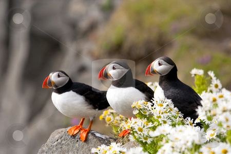 Nature's Sweet Surprises stock photo, Three Atlantic puffins on rocky, coastal cliffs admid surprising blossoming daisies by Florence McGinn
