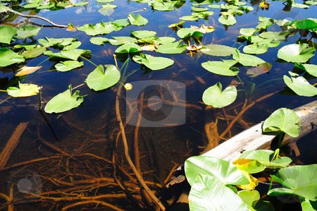 Lily Pad And Clear Water stock photo, Lily Pads floating on the crystal clear water of a high Sierra pond in the California Sierra Nevada Mountains by Lynn Bendickson