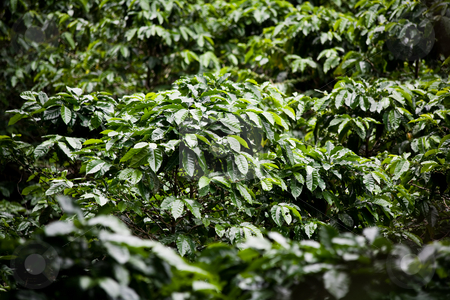 Coffee plants on plantation in Costa Rica stock photo, Many coffee plants on plantation in Costa Rica by Scott Griessel