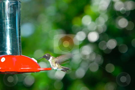 Hummingbird stock photo, A hummingbird feeding for a red feeder by Don Fink