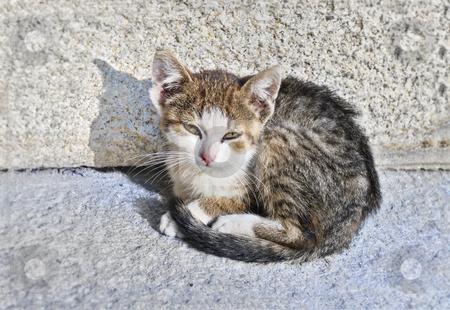 Abandoned kitten stock photo, Small, sad, abandoned kitten sitting on the street. by Ivan Paunovic