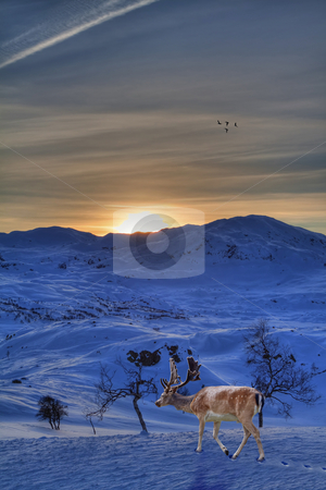 Reindeer stock photo, A reindeer in a beautiful winter landscape by Kjersti Jorgensen
