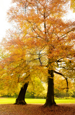 Autumn reds stock photo, Golden trees in a park in full autumn splendor by Anneke