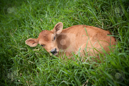 Costa Rican calf stock photo, Calf in deep grass on dairy farm in Costa Rica by Scott Griessel