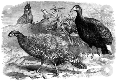 Wild Pheasants stock photo, Engraving of wild pheasant birds by George C. Leighton, Published in Illustrated London News, Volume 56, 1870. Public domain image by virtue of age. by Martin Crowdy