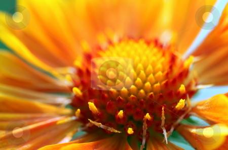 Gaillardia stock photo, Red yellow orange blanket flower close up macro by Henrik Lehnerer