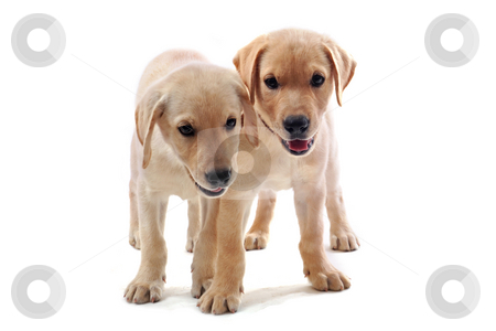 Puppies labrador retriever stock photo, Two purebred puppies labrador retriever upright on a white background by Bonzami Emmanuelle