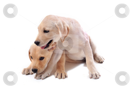 Puppies labrador retriever stock photo, Two purebred puppies labrador retriever  on a white background by Bonzami Emmanuelle