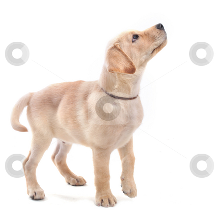 Puppies labrador retriever stock photo, Purebred puppy labrador retriever upright on a white background by Bonzami Emmanuelle